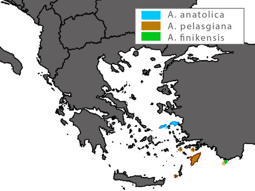 The European distribution of Anatololacerta pelasgiana is limited to Rhodes and some adjoining islets, Symi and Nisyros. An introduced population exists on Kastellorizo.