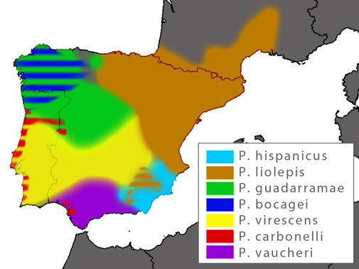 Distribution Podarcis virescens
