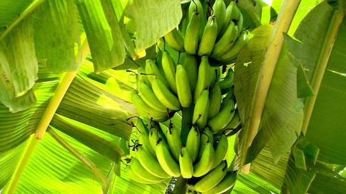 Nährwerttabelle - Vitamin B6 - Bananenstaude - fair4world