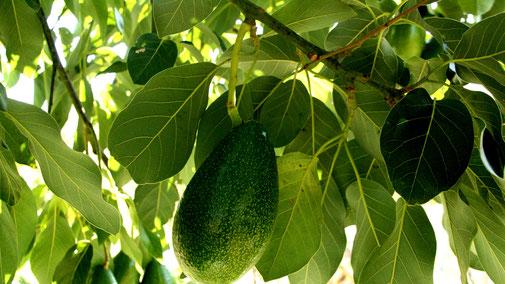 Avocado - gesunde Frucht mit schlechter Ökobilanz?