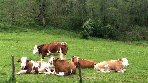 Glyphosatverbot - Molkerei Berchtesgadener Land - Kühe auf der Weide - fair4world