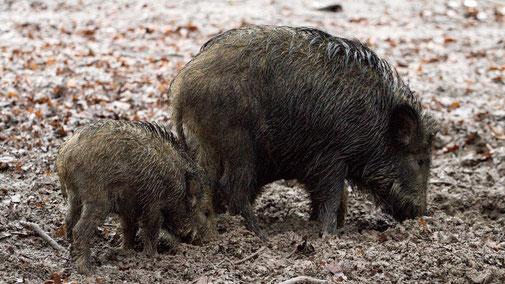 Afrikanische Schweinepest - Wildscheine - fair4world