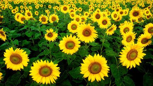 Nährwerttabelle - Omega-6-Fettsäuren - Sonnenblumen - fair4world