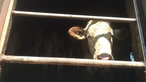 Schlachtverbot für trächtige Kühe und Schweine