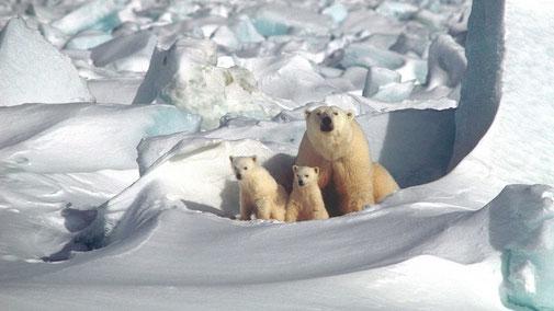 Ende der Eisbären? - Eisbärfamilie Nordpol - fair4world