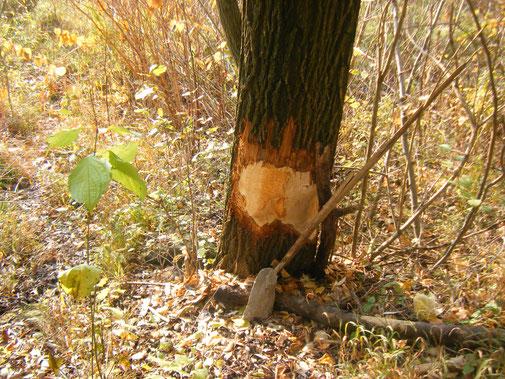 da hat er noch Einiges vor, bis der Baum fällt. Hier war ein fleissiger Biber bei der Flussgestaltung am Werk