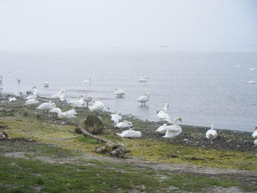 nahrungsreicher Rastplatz für viele Wasservögel: die Rotachmündung