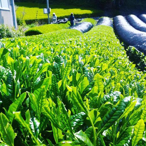 静岡県川根の有機栽培茶 樽脇園 浅蒸し 無農薬 無農薬茶 無化学肥料 オーガニック オーガニック茶 緑茶 煎茶 山のお茶 八十八夜