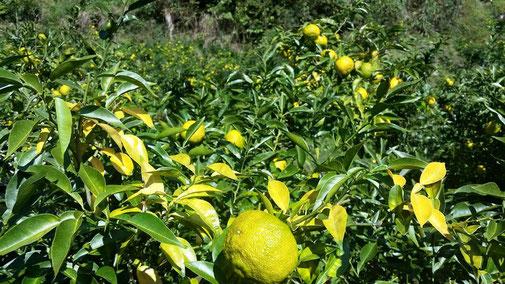 静岡県川根の有機栽培茶 樽脇園 無農薬 無化学肥料 オーガニック 柚子