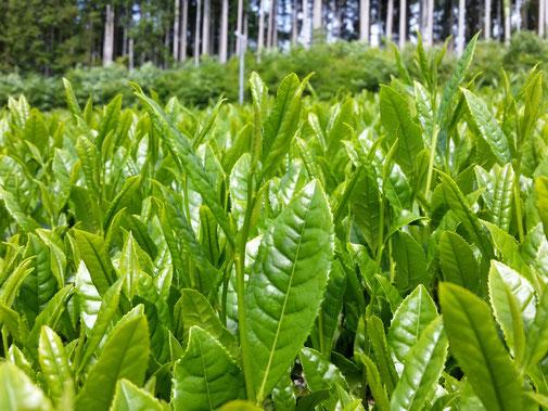 Organic tea in Kawane (Shizuoka prefecture) Taruwaki-en Taruwaki-en's organic tea