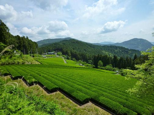 Organic tea in Kawane (Shizuoka prefecture) Taruwaki-en
