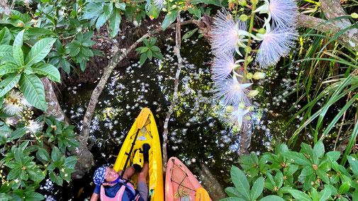 西表島でサガリバナを見に行く早朝カヌーツアー【水面に浮かぶ幻想的なサガリバナ】