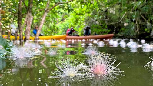 西表島でサガリバナを見に行く早朝カヌーツアー【なんと言っても美しいサガリバナ】