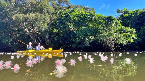 西表島でサガリバナを見に行く早朝カヌー+半日ツアー【7月中旬以降は東部でピンクのサガリバナ】