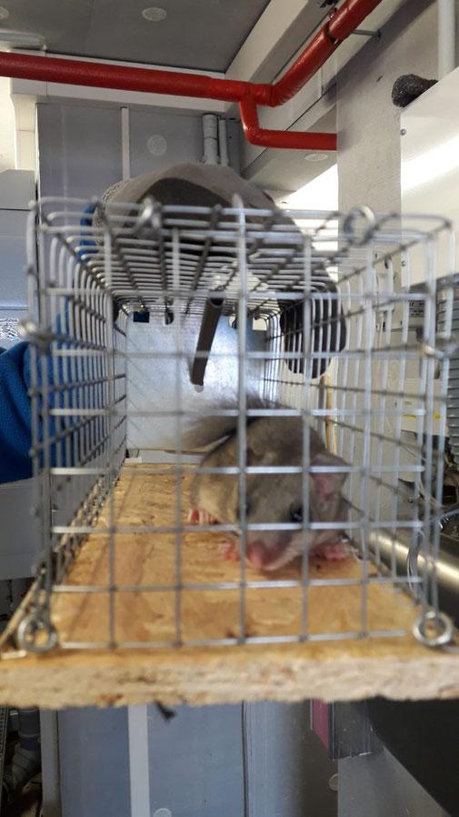 Lebendfalle Siebenschläfer + artengerechte Umsiedlung mit Schädlingsbekämpfung Zuber 06205 - 28 88 56