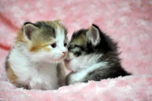 リンク画像:子猫を探す:ノルウェージャンフォレスト