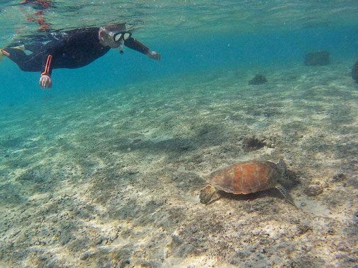 ウミガメの食事をシュノーケリングで観察