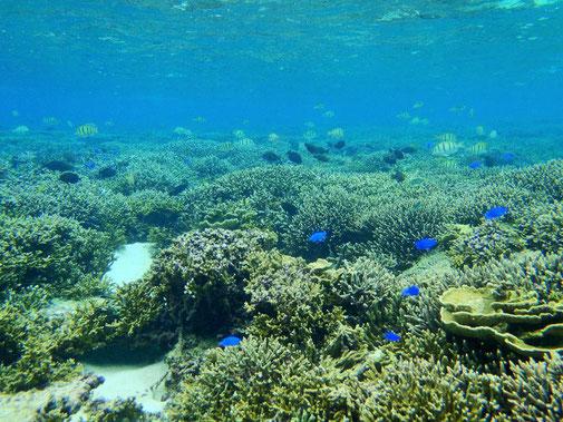宮古島は岸から数メートルで魚めちゃめちゃいます