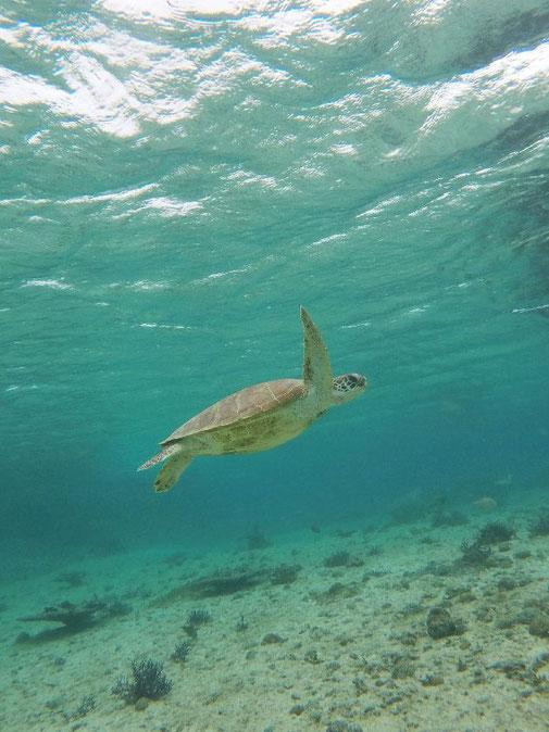 悠々と泳ぐアオウミガメ