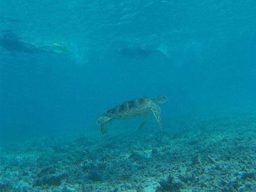 きれいな宮古島の海でウミガメとシュノーケル