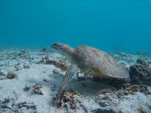 宮古島のアオウミガメ