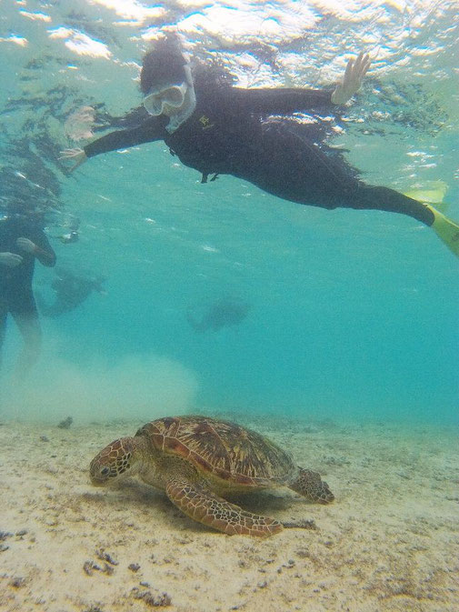 宮古島で食事中のウミガメを観察