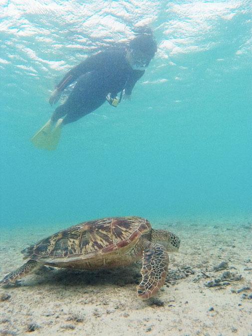 シュノーケリングで食事中のウミガメを観察