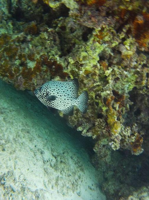 イシガキダイの幼魚