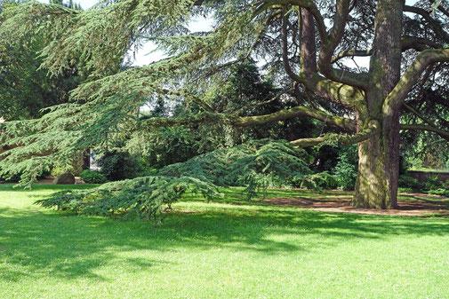Libanonzeder im Schlosspark Weinheim in Weinheim