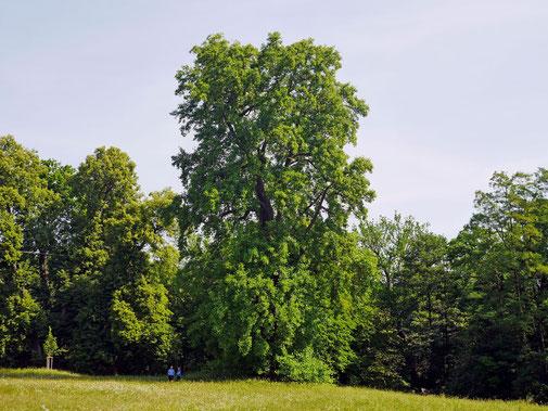 Tulpenbaum im Bergpark Wilhelmshöhe bei Kassel