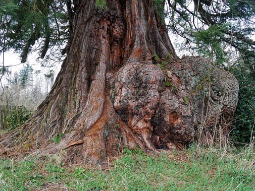 Riesenmammutbaum in Hofstett