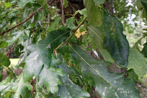 Blätter die kaum gelappt sind.