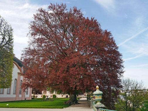 Blutbuche in der Oberen Orangerie des Schlosses Weilburg in Weilburg