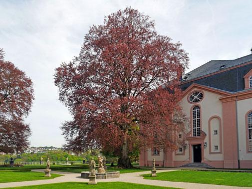 Blutbuche in Oberen Orangerie des Schlosses Weilburg in Weilburg