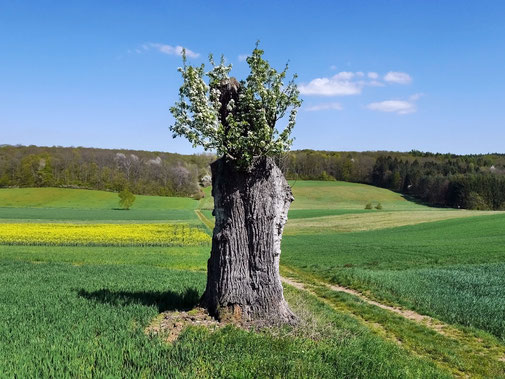 Birne bei Hambach