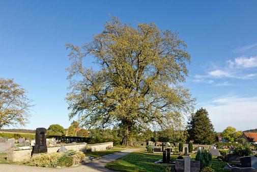 Ulme auf dem Friedhof in Bonfeld