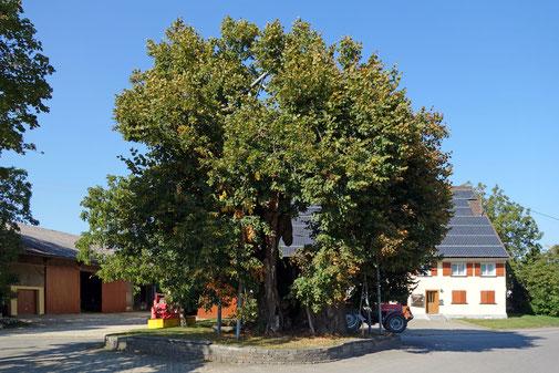 Linde in Hohenbodmann