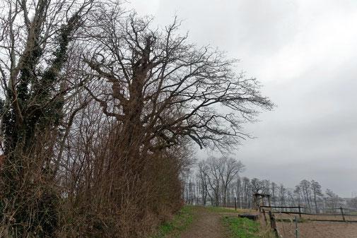 Eiche bei Jasdorf