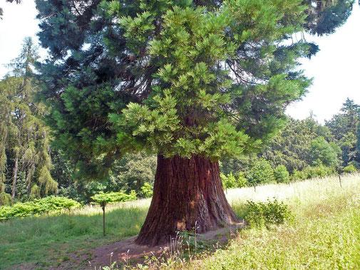 Riesenmammutbaum im Pflanzgarten Läunsbachkamp bei Schotten