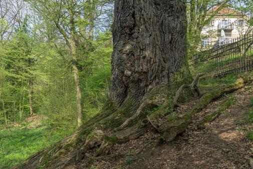 Tausendjährige Eiche bei Schloss Nagel