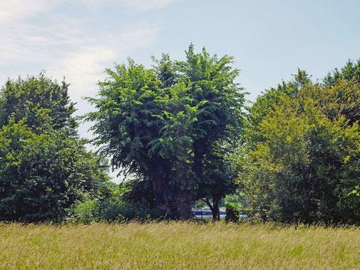 Lausbäumchen bei Dörnigheim