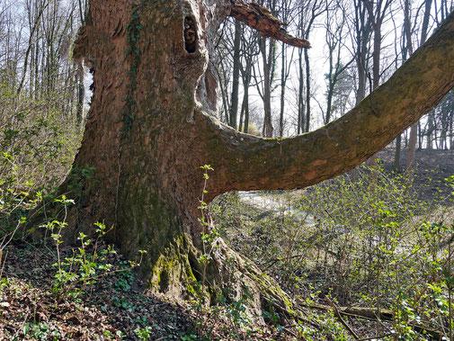 Bergahorn im Ohrbergpark in Emmerthal