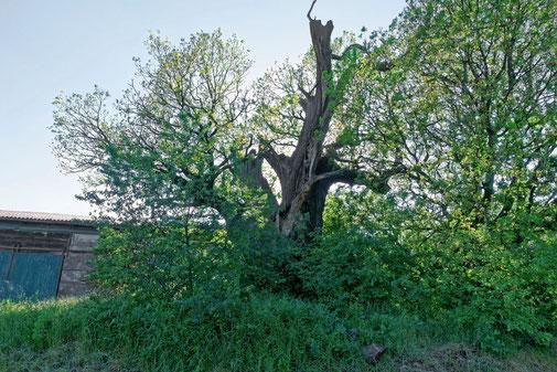 Tilly-Eiche bei Krevese