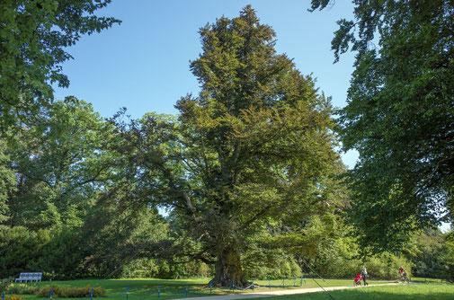 Blutbuche im Fürst-Pückler-Park in Bad Muskau