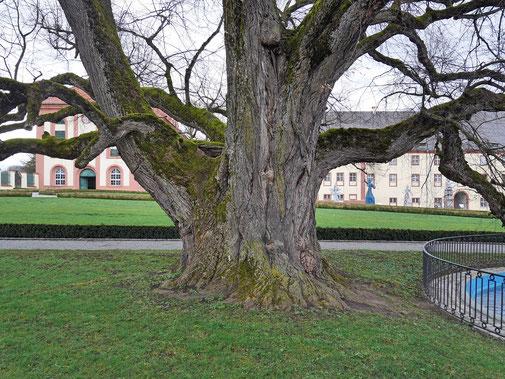 Linde im Schloßpark Altshausen in Altshausen