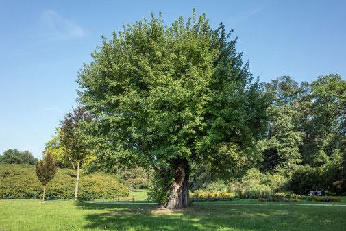 Silberahorn im Fürst-Pückler-Park in Bad Muskau