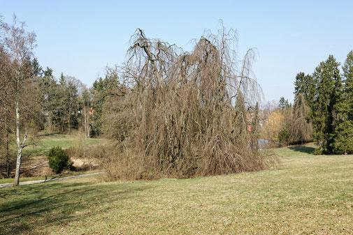 Trauerbuche im Park Rauischholzhausen in Rauischholzhausen