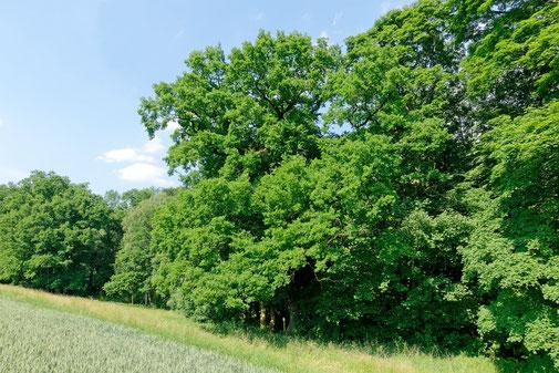 Eiche im Buchenbachtal bei Friesen