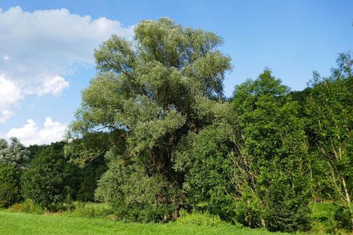 Silberweide Harthauser Talbach bei Igersheim