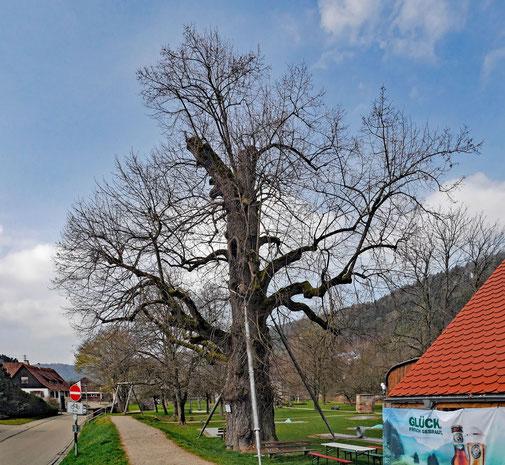 Linde im Schlosspark in Glatt